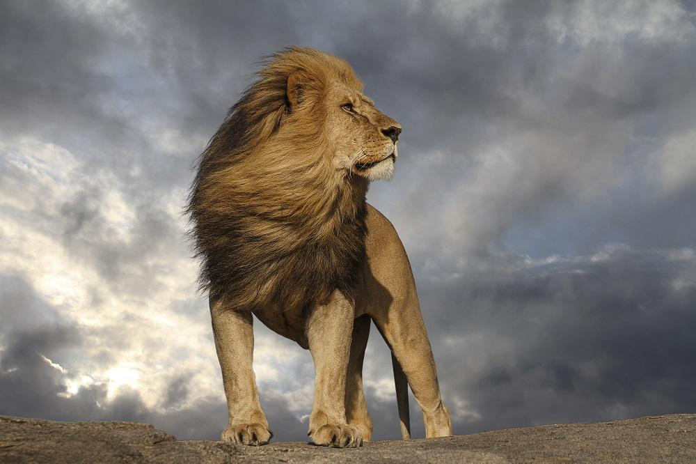 A lion standing on a rock Description automatically generated with medium confidence